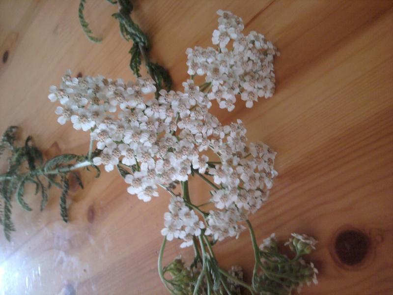 Achillée millefeuille / Achillea millefolium 2011-021
