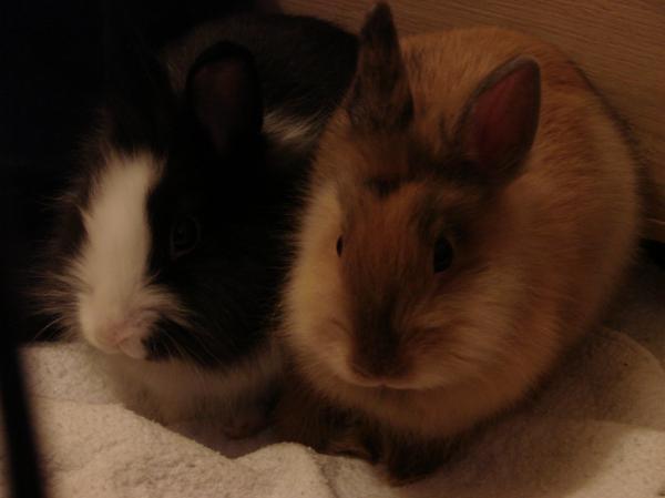 Chipie et Praline, lapines de 3 mois Chipie10