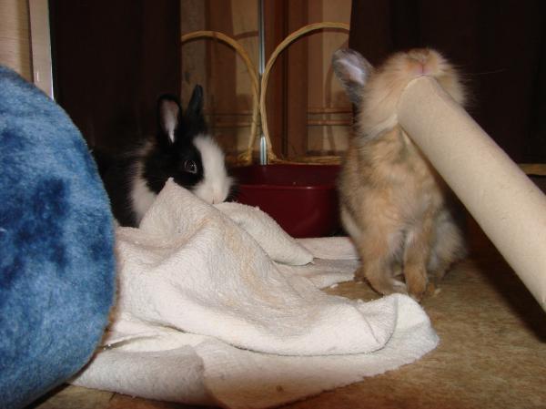 Chipie et Praline, lapines de 3 mois Chipie11