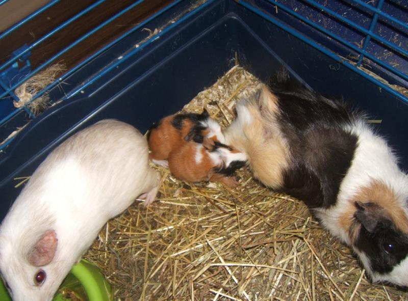 Chantilly et Danette, 2 cobayes bientôt mamans... Dscf5813