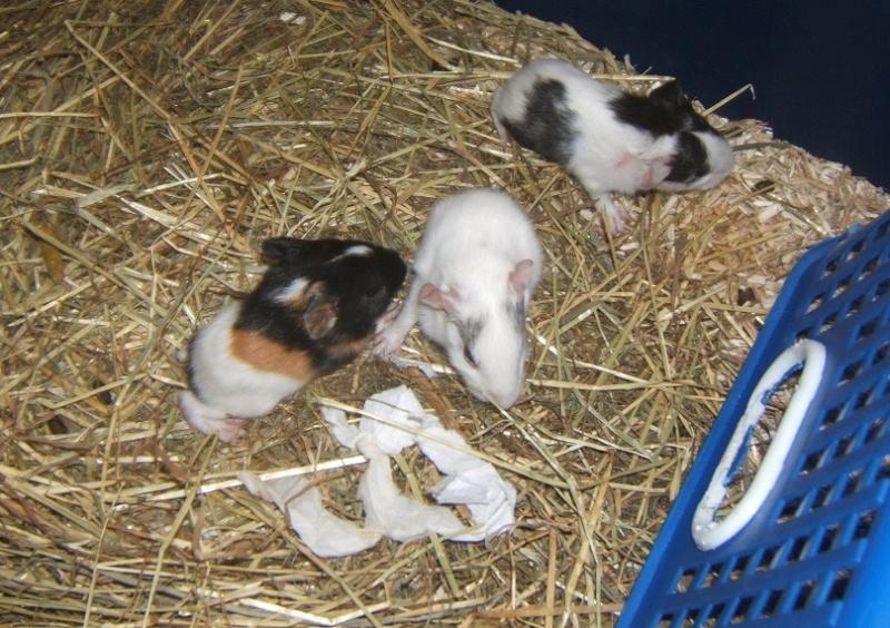 Chantilly et Danette, 2 cobayes bientôt mamans... Dscf5815