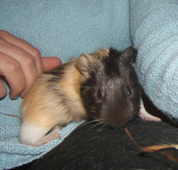 Dumbie et Polly, 2 jeunes cobayes femelles Dscf6013