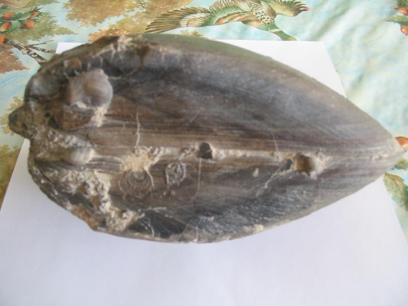 coquille westphalienne Plagio11