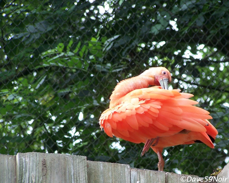 Au zoo avec zizi Ibis-r10