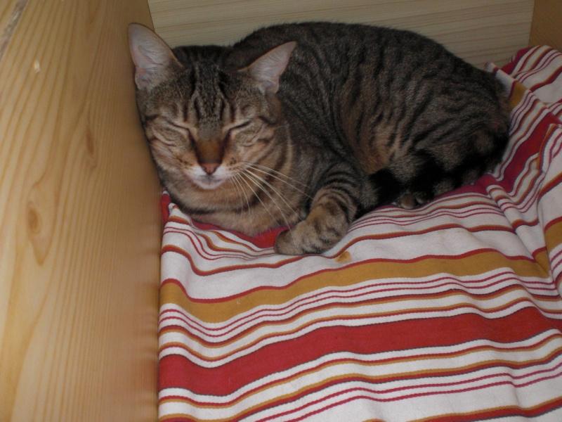 CASSY - chatte tigrée - avril 2010 -  tatouée : GFA962 ( spa d'armor - 35) Photo_19