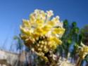 Edgeworthia chrysantha P2060012