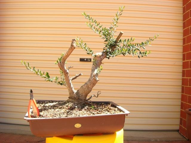 Conseils pour la formation d'un olivier? Dscn2410