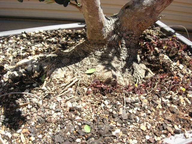 Conseils pour la formation d'un olivier? Dscn2411