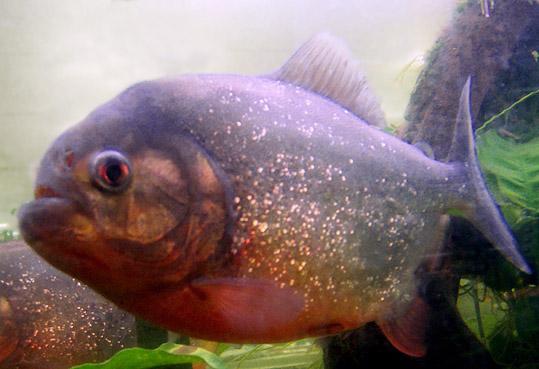 Pygocentrus nattereri - Piranha 100_7511