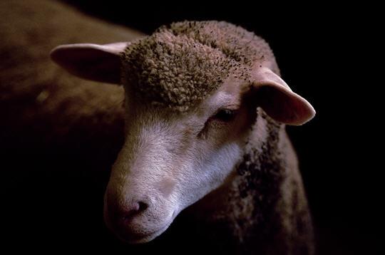 le mouton 99710