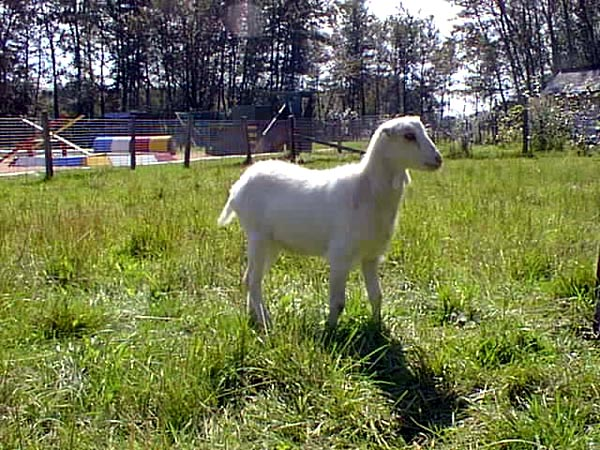 le mouton Agneau10
