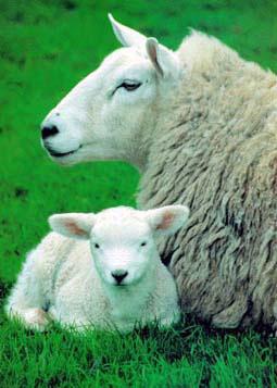 le mouton Bebe10