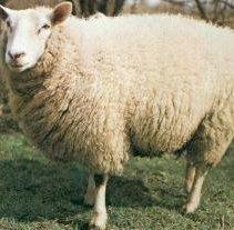 le mouton Brebis10