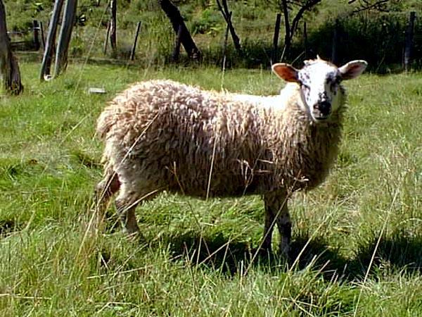 le mouton Mouton11