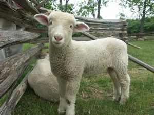 le mouton Mouton12