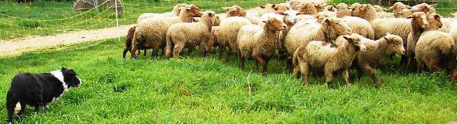 le mouton Troupe10