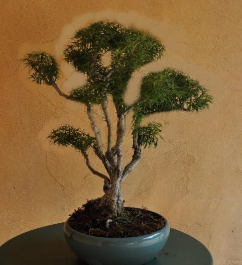 Un joli bonsaï pour Papy - Page 2 Bonsaa15