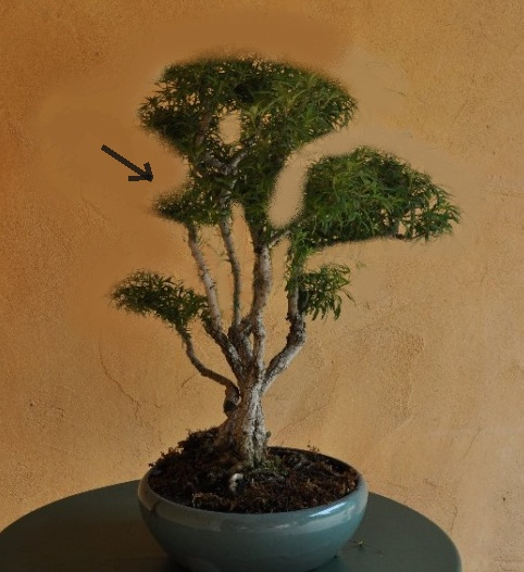 Un joli bonsaï pour Papy - Page 2 Bonsaa16