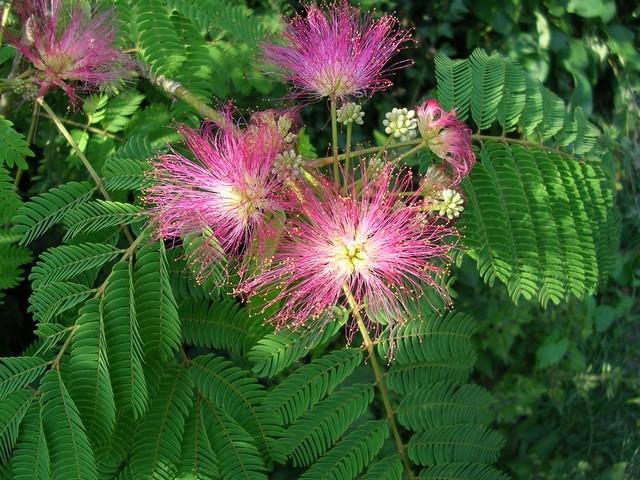 Albizia(ou arbre a soie) Fleur_11