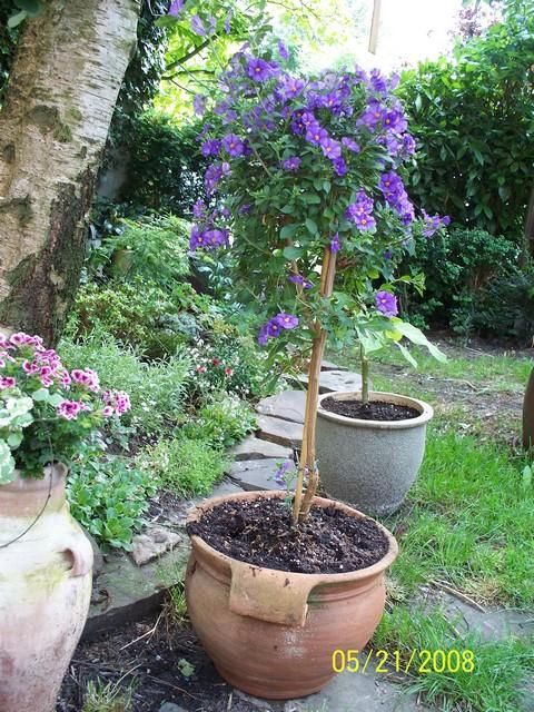 Solanum rantonetti - Page 2 Solanu10