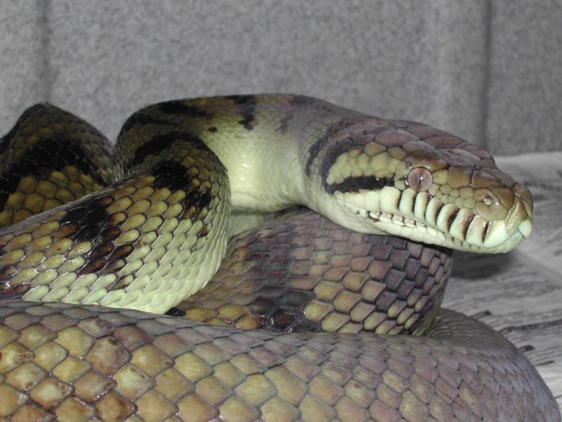 Scrub python ( Morelia amethystina) 00210