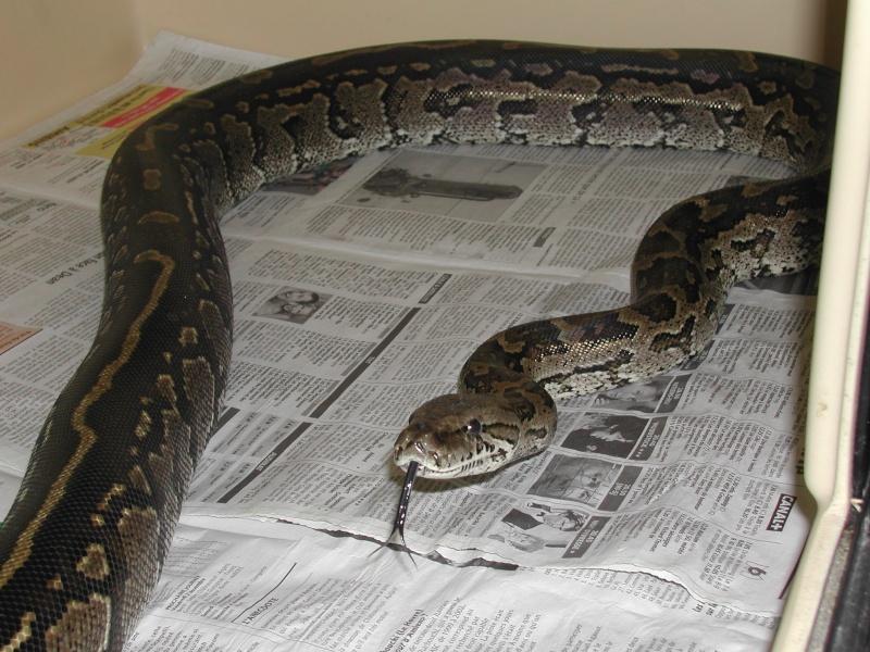 Python natalensis 00510