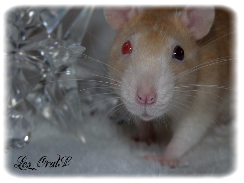 [GÉNÉTIQUE]  Types de poil, morphologie et couleurs d'yeux du rat P1010611