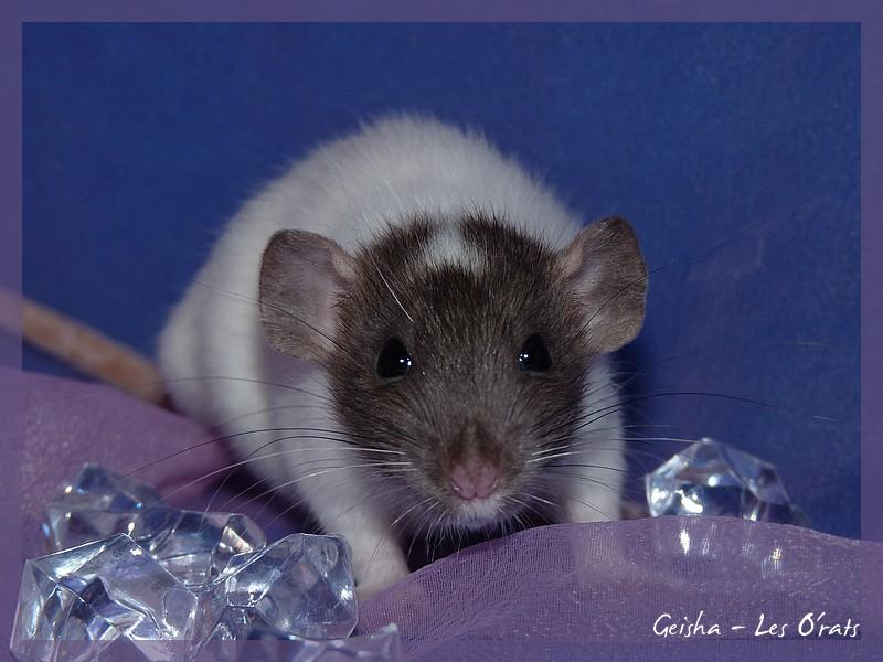 [GÉNÉTIQUE]  Marquages et dilutions du rat domestique P1070916