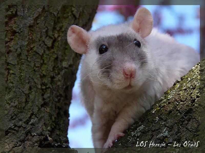 [GÉNÉTIQUE]  Marquages et dilutions du rat domestique P1080514