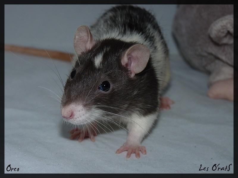 [GÉNÉTIQUE]  Marquages et dilutions du rat domestique P1100314