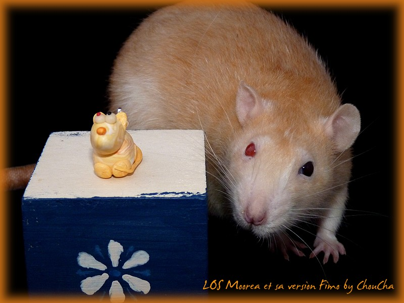 [GÉNÉTIQUE]  Types de poil, morphologie et couleurs d'yeux du rat P1100815