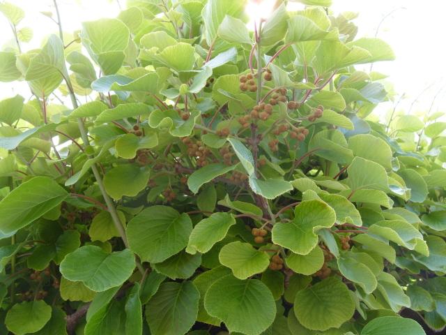 actinidia fruit kiwi - Page 3 S1050910