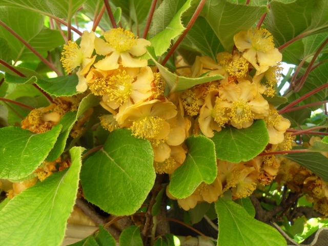 actinidia fruit kiwi - Page 3 Sdc10010