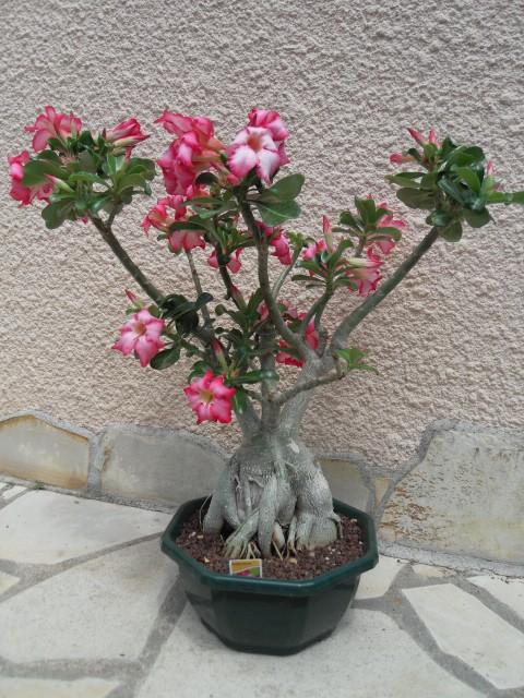 Sauvage sud africaine: Adenium obesum  Sdc10213