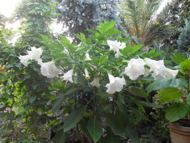 brugmansia - Page 2 Sdc10416