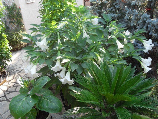 brugmansia - Page 2 Sdc10417