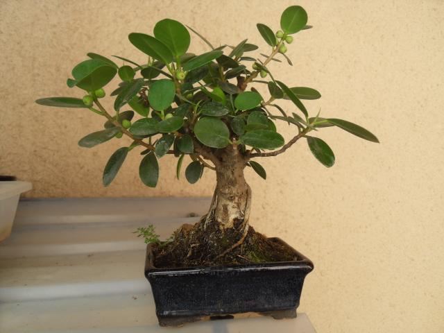 nos bonsaïs et autres ficus Sdc10420