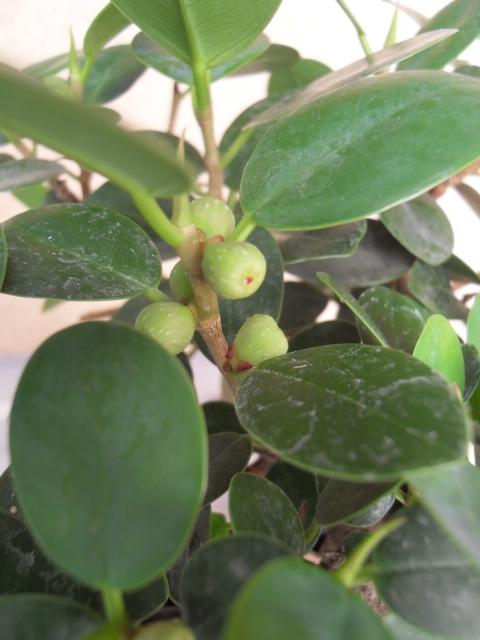 nos bonsaïs et autres ficus Sdc10421