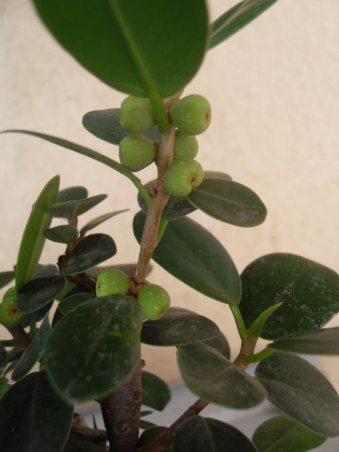 nos bonsaïs et autres ficus Sdc10422