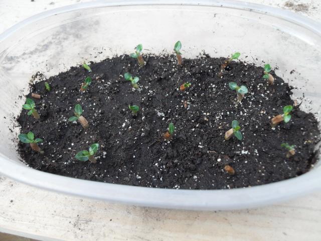 Sauvage sud africaine: Adenium obesum  - Page 10 Sdc10720