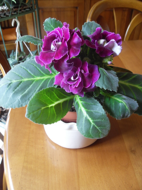 Sinningia speciosa ou Gloxinia des fleuristes Sdc10829