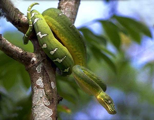 deux serpents dangereux Boa_ca10