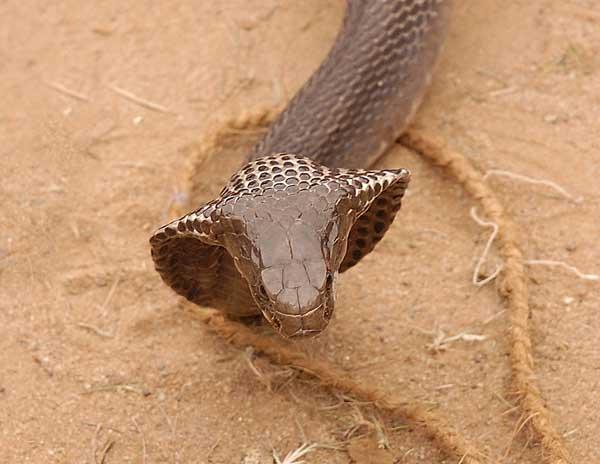 deux serpents dangereux - Page 2 King_c10