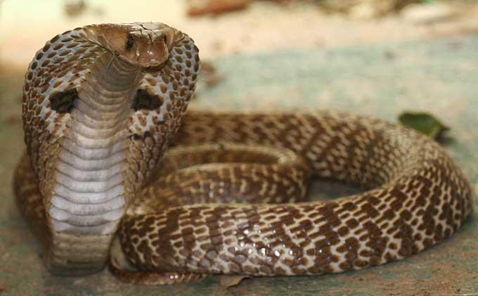 deux serpents dangereux - Page 2 Naja_n10