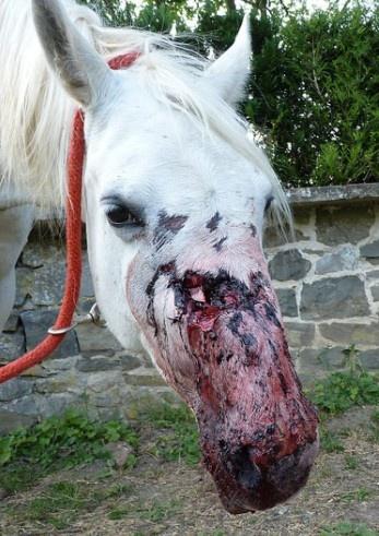 Des chevaux sauvagement agressés à Dinant (Belgique) Ch1_bm10