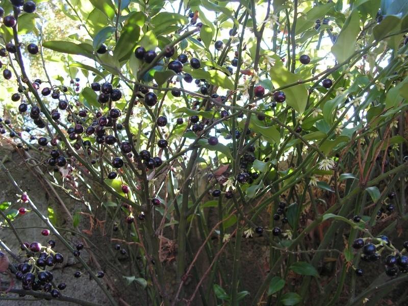 jardin Dr Jekyll 10 février 2008 Pict0015