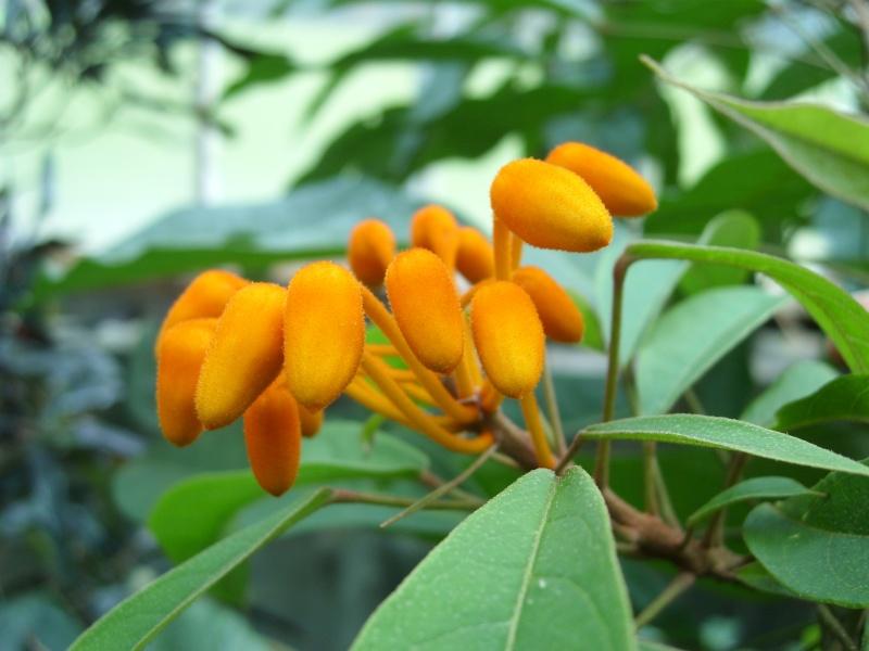 Quiz orange (Trouvé : Steriphoma cleomoides) Sl273311