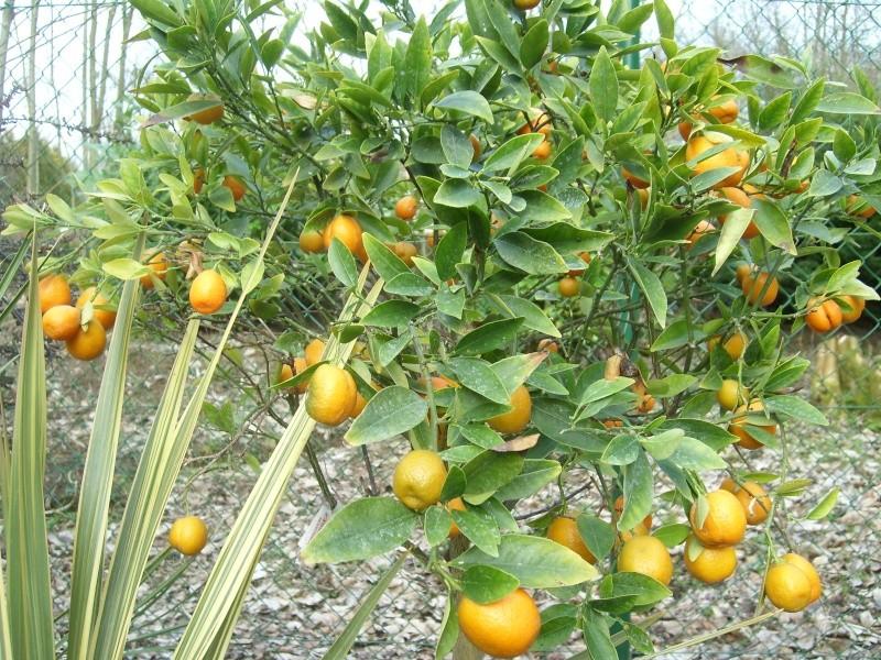 Nouveaux agrumes (Fortunella japonica et margarita) Sl273410