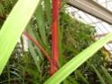 Palmiers aquatiques Jardin10