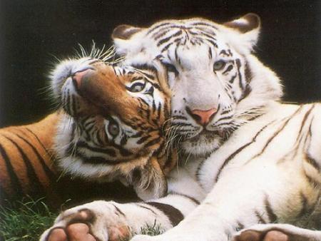 fotos de animales sorprendentes Tigres10